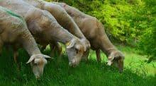 Un ours attaque un troupeau de brebis dans l'Ariège : la préfecture met en place des indemnisations et débloque des fonds exceptionnels pour l'éleveur