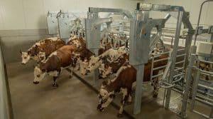 l'innovation Boumatic récompensée au space libère rapidement les vaches traites