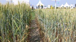 Deux variétés de blé tendre en juin 2017