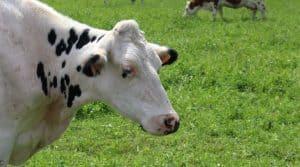 Vache et production laitière : quel est son coût alimentaire. Ce qui est certain est que plus il y a d'herbe moins le coût est important.