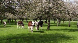 Deux filières agricoles porteuses de la région Normande : les pommiers et les bovins