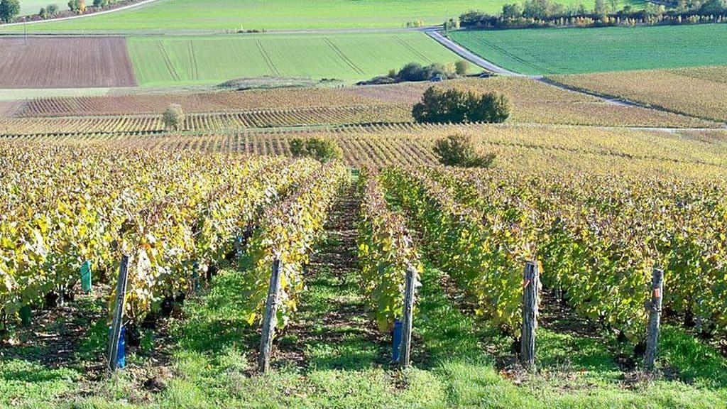Champagne : début des vendanges précoces dans l'Aube.