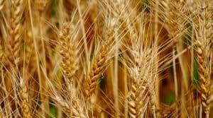 Les céréaliers français inquiets et confrontés à des cours du blé mondiaux toujours plus bas - les représentants lancent un appel à l'aide.