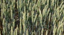 Les variétés sont choisies selon des critères de productivité, d'agronomie ou de qualité des débouchés.