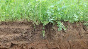 couverts végétaux sol profil racines