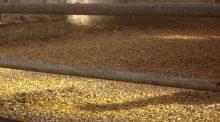 Sur l'exploitation du gaec de Bontin à Autun, les éleveurs utilisent une litière en plaquettes bois.