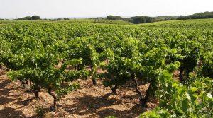 Les viticulteurs gardois sont inquiets quand à l'indemnisation compensatoire des pertes de ces vendanges 2017 dans le Gard.