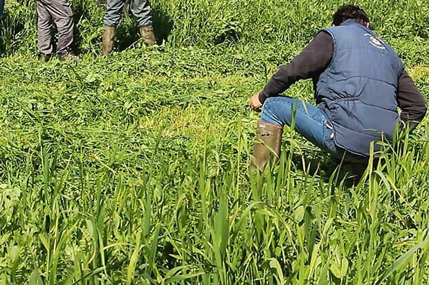 La culture est économe en intrants, mais il ne faut pas trop tarder à la récolter pour préserver la valeur alimentaire. En l'espace de deux semaines, on peut tomber de 16 à 11 % de MAT.