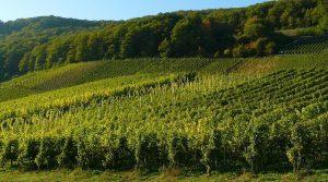 Production viticole : les rendements affectés par les accidents climatiques de l'année. Gel, sécheresse et vendanges précoces dans plusieurs régions viticoles en France.