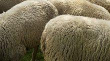 Fièvre catarrhale ovine : dispositif étendu à plus de 100 communes en Haute-Savoie pour prévenir des différents stérotypes de la maladie.