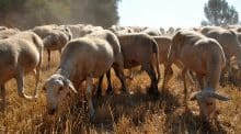 La maladie de la langue bleue touche cinq départements français : surveillance et obligation de vaccination des troupeaux dans l'Est.