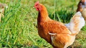 Grippe aviaire : dérogations pour confiner les élevages de volailles dans l'Ain et la Bourgogne pour éviter la contamination des poules label rouge et élevées en plein air.
