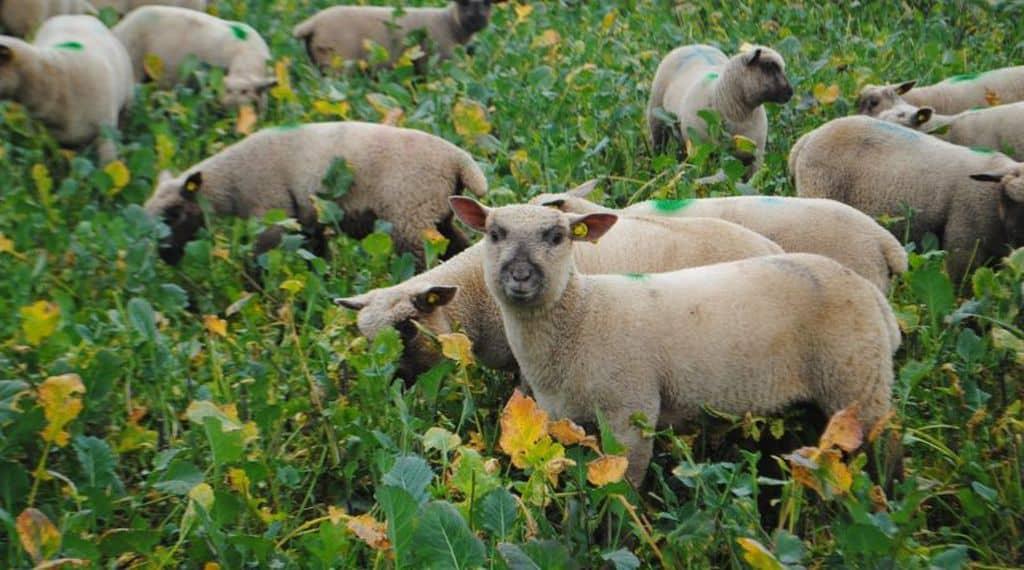 Dans les couverts, les ovins trouvent de la végétation avec une bonne valeur alimentaire et peu onéreuse à valoriser.