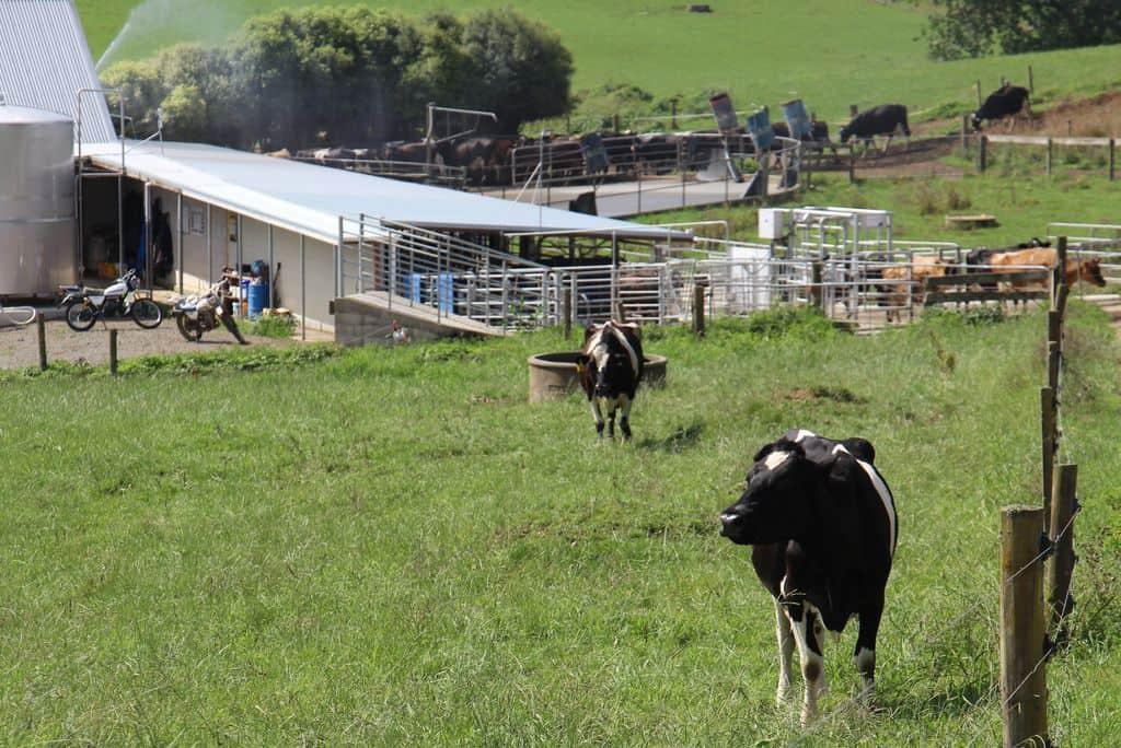 Vache-laitiere-kiwi-nouvelle-zelande-batiment-elevage-lait-batiment-salle-de-traite