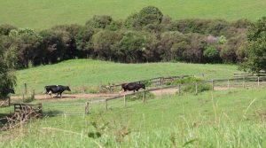 Vaches et lait en Nouvelle Zélande
