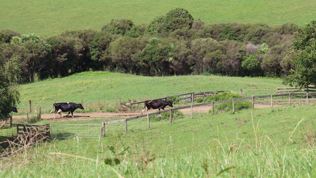 Vaches Et Lait En Nouvelle Zelande