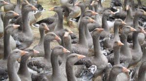 Grippe aviaire : 65 millions d'euros pour les éleveurs français touchés par la grippe aviaire.