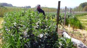 Couverts végétaux : Fabrice Fort met l'agronomie au cœur de sa stratégie pour ses vignes.