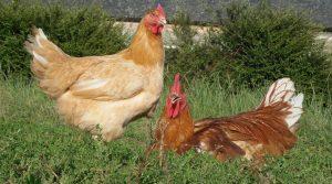 abattage, cuma Grains de Saveurs, Coop de France, Saône et Loire, diversification, filières courtes