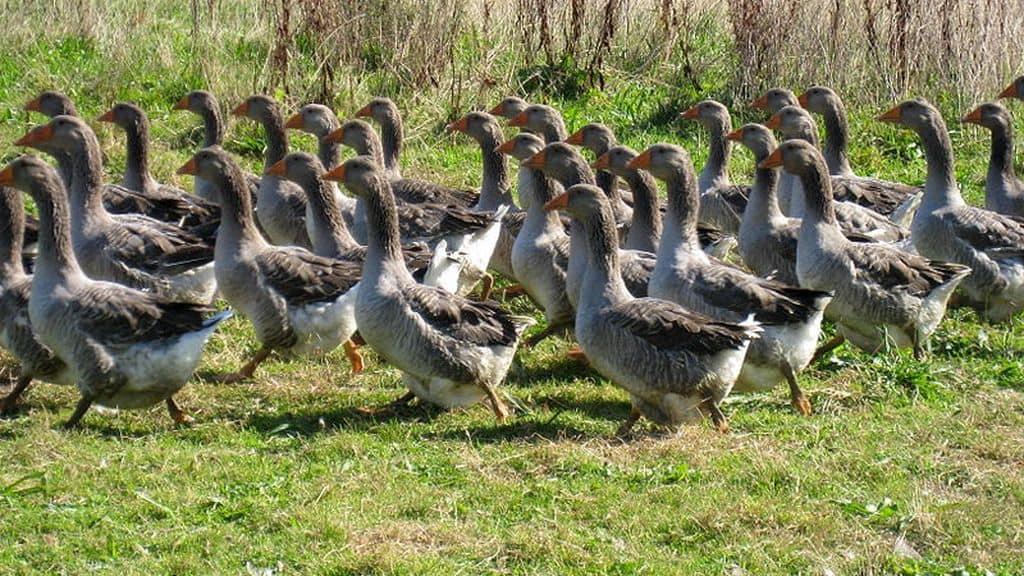 grippe aviaire foie gras : des ventes qui restent stables sur l'année 2017.