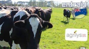 filière laitière Nouvelle Zélande : troupeau de vaches kiwi au pâturage