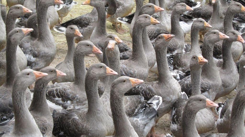 Grippe aviaire : foyer détecté en Vendée