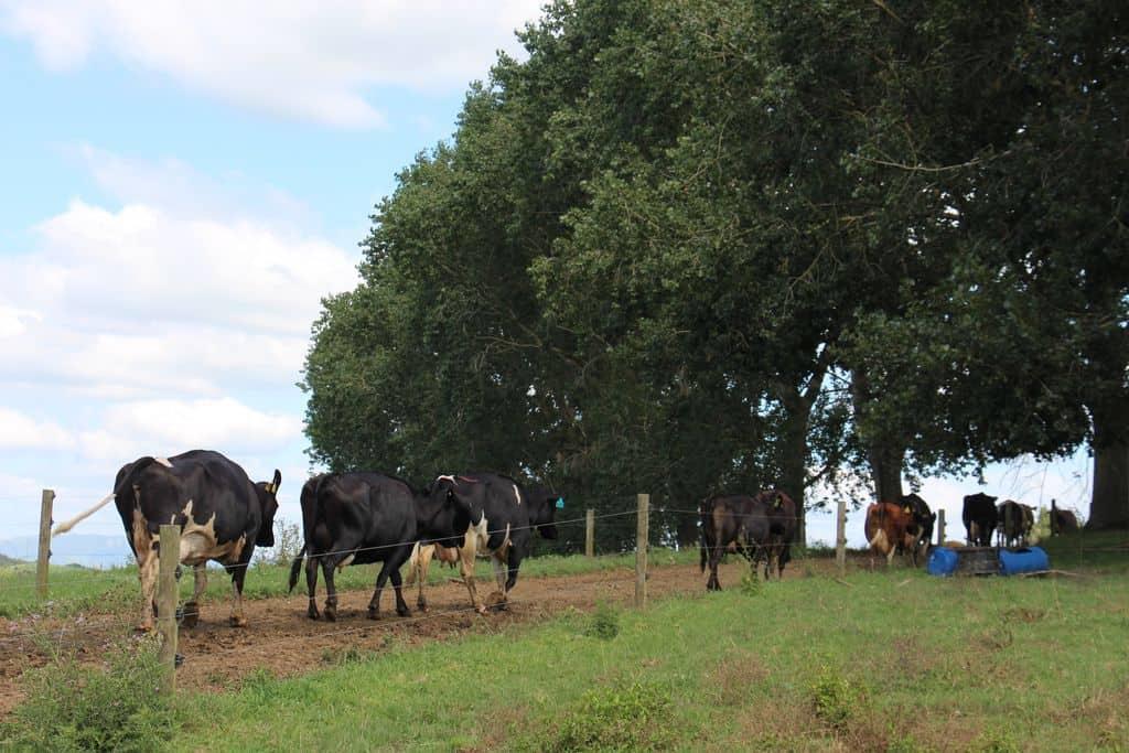 Apres-la-traite-paturage-vaches-laitieres-chemin-exploitation-nouvelle-zelande