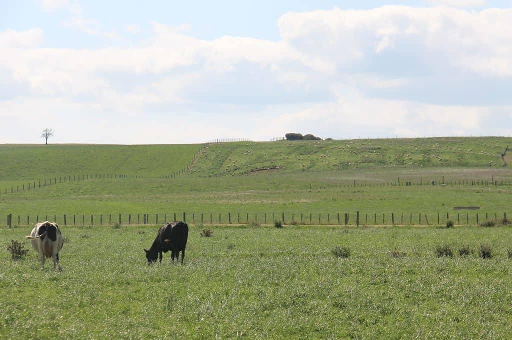 Nouvelle-zelande-production-lait-filiere-mouton-ovin-bovin-vache