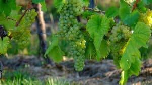 cultures vignes bio : quelle est la progression des cultures et vignobles dans le monde ?