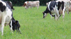 Troupeau laitier bio au pâturage