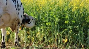 Vache paturant du colza fourrager.