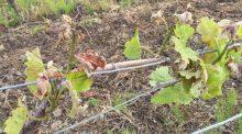 tour antigel, vigne, cuma Gel Cravant, cuma Saint de glace, PCAE,