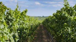 Vignes en bio ; logo label agriculture biologique pour les surfaces viticoles en Occitanie.
