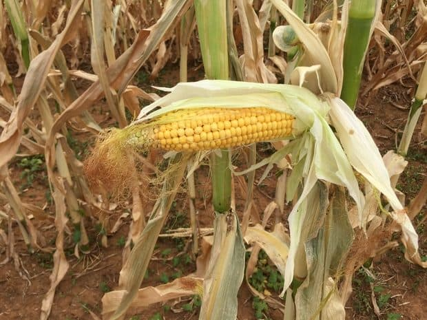 épi de maïs