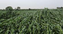 Parcelle de maïs atteinte de verse en juillet 2018