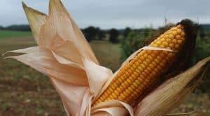ensilage de maïs précoce, épi de maïs le jour de l'ensilage sur l'élevage manchois