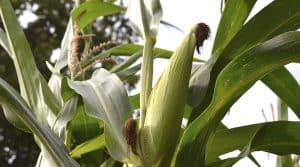 indicateur de maturité maïs ensilage