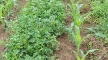 Maïs sous couvert de trèfle semé en strip-till.