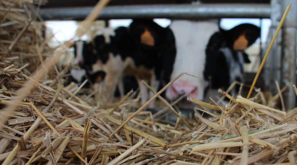 Génisse laitière nourrie à la paille