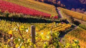 vignes vignoble cognac agrandi