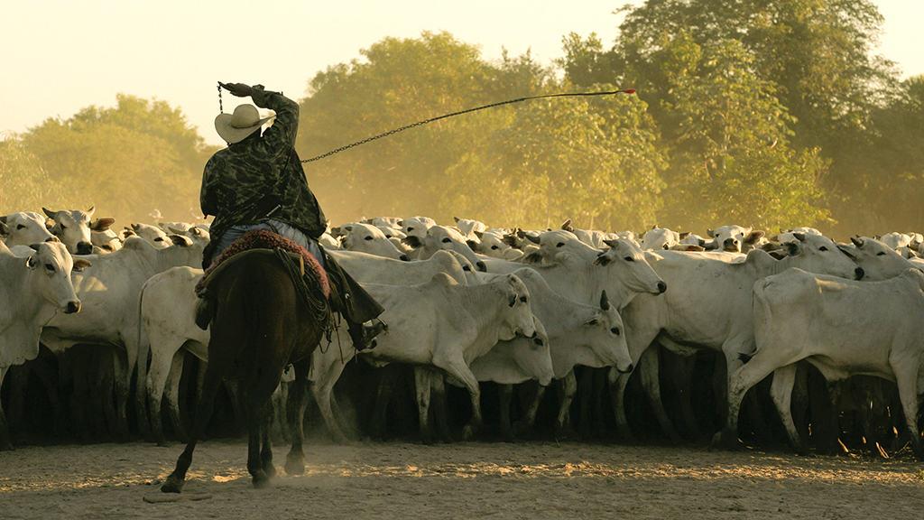 Viande bovine au Brésil troupeau