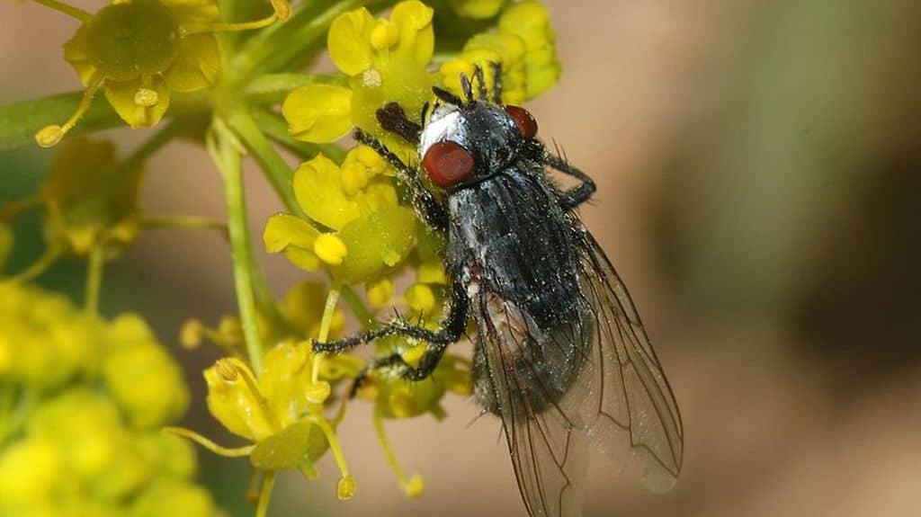La mouche Wohlfahrtia magnifica cible en premier les troupeaux ovins
