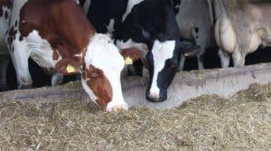 alimentation des vaches laitières, en bâtiment