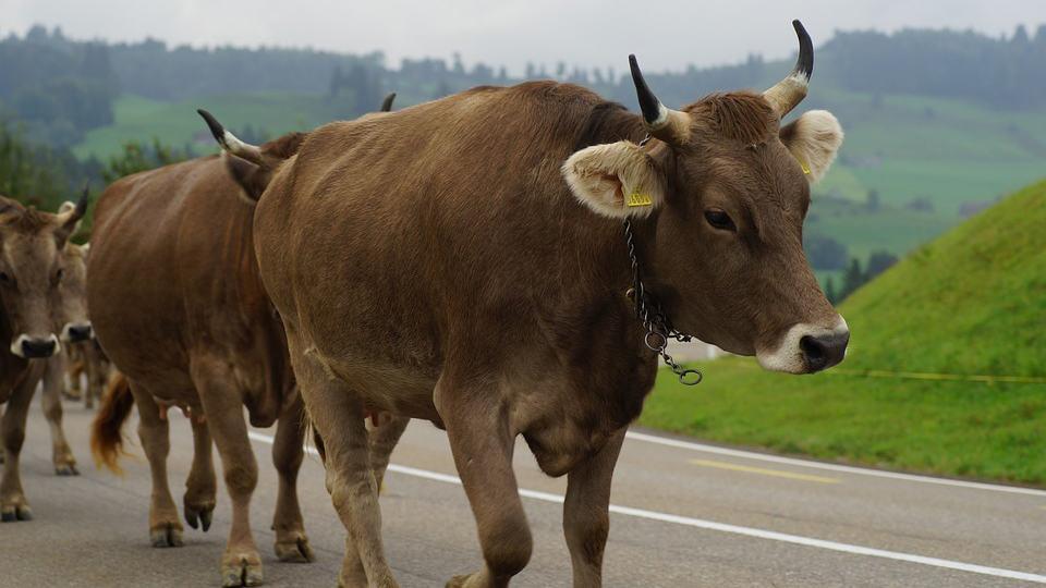 vaches cornes suisse referendum