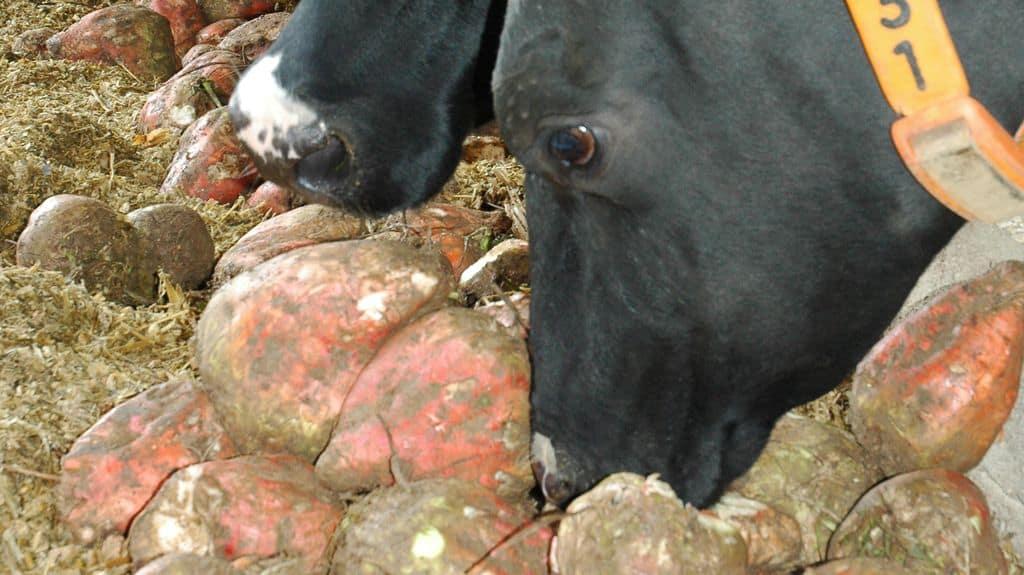 betterave fourragère, variétés résisatntes à la sécheresse