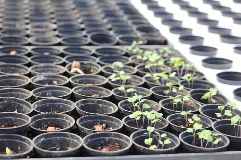 Semis pour une production en aquaponie