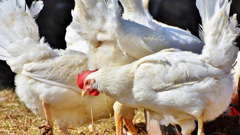 poulet elevage gros epoque diforme