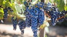 grappes raisin bio chateau bordelais pesticides college