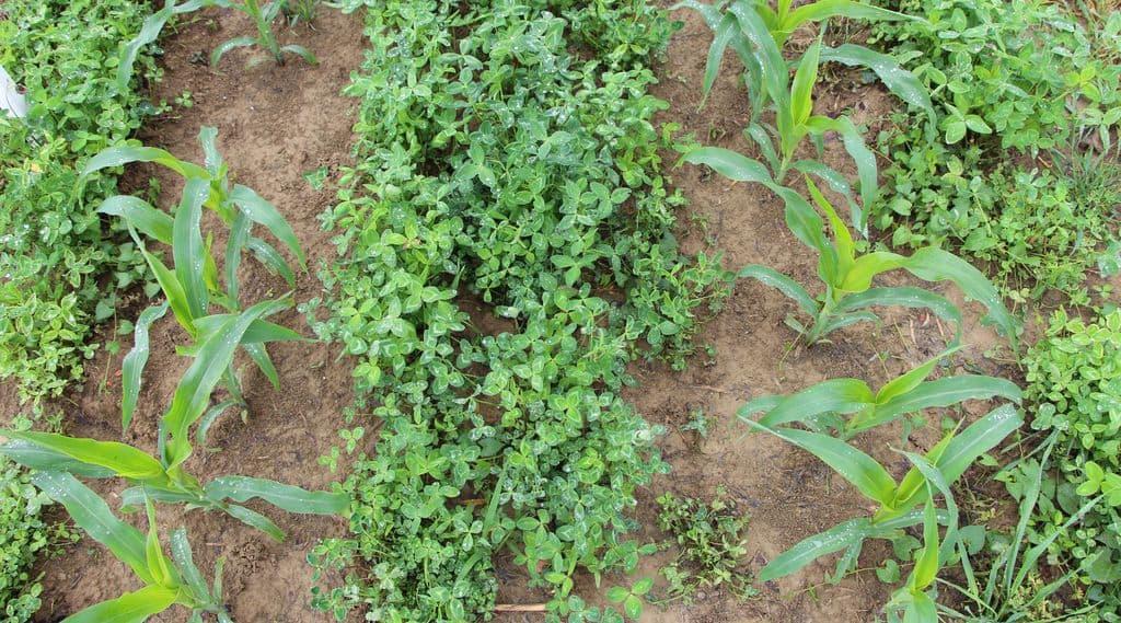 maïs sous couvert de légumineuses