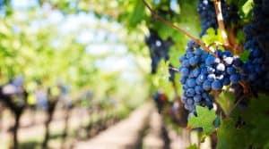 bordeaux vignes arrachee maladie contamination